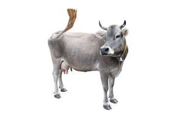 grey cow isolated on a white Wall mural