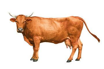 Foto op Aluminium Koe brown cow isolated on a white background