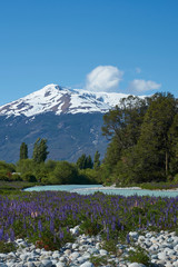 Lupins flowering on the banks of the Rio el Canal along the Carretera Austral in southern Chile.