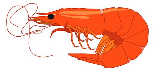 Shrimp. Beautiful vector shrimp graphic style isolated on white background.