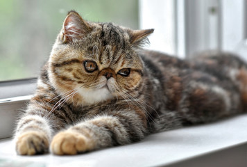 Exotic Shorthair Photos Royalty Free Images Graphics Vectors