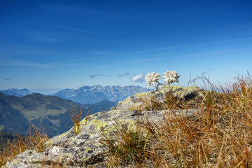 Fototapete - Edelweiss auf Felsen in den herbstlichen Alpen