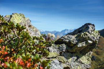 Fototapete - Edelweiss zwischen Felsen in den herbstlichen Alpen