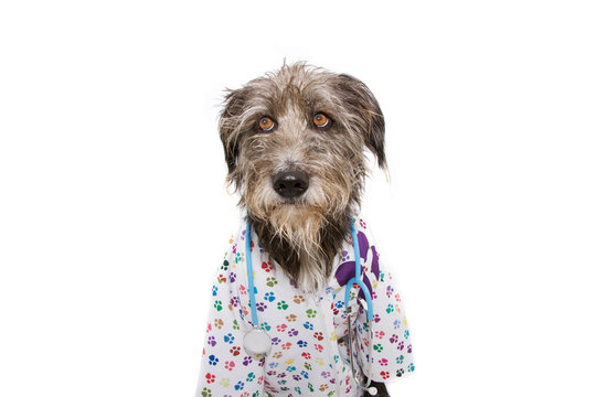 dog dressed as veterinarian wearing stethoscope and hospital gown. Isolated on white background. looking up.