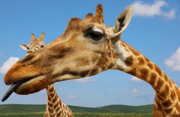 Portrait of giraffe on blue sky background