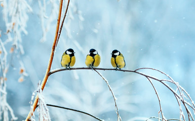 Printed roller blinds Bird three birds little Tits sit on a tree branch during snowfall in festive winter new year Park