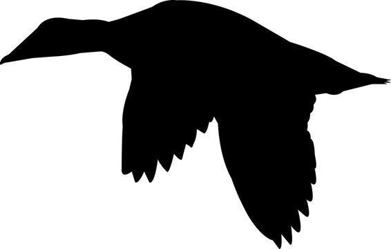 Common Eider Duck Vector Silhouette