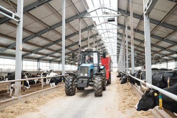 Worker of dairy farm sitting in tractor and moving between two long cowsheds
