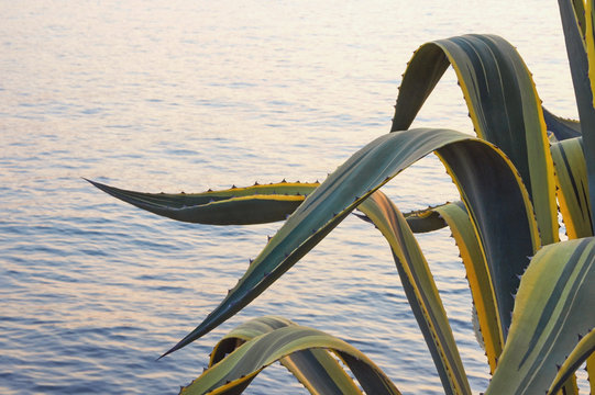 Leaves of agave ( Agave americana ) on background of evening sea illuminated by setting sun. Vacation concept