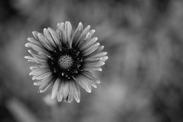 black and white single wild flower close up