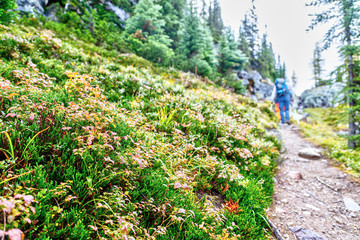 Colorful foilage dot the hiking path along Opabin Trail in Yoho National Park