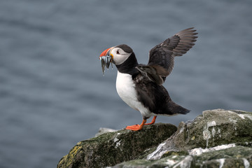 Puffin standing on a rock, flapping its wings, with sand eels in its mouth and the ocean in the background. Image taken in the Farne Islands, United Kingdom.