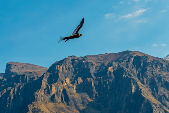 Wide angle view of an Andean Condor (Vultur gryphus) flying above the mountain peaks of the Colca Canyon, Arequipa, Peru.