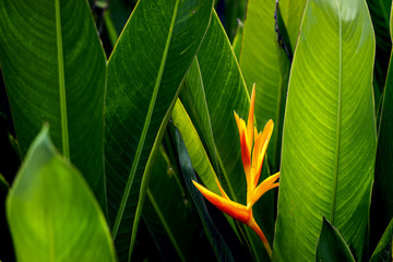 Beautiful bird of paradise flower with gree leaf in the garden