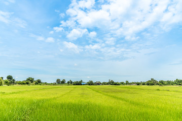 green rice field with sky and cloud in thailand with copy space