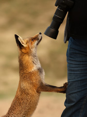 Close up a red fox and a photographer