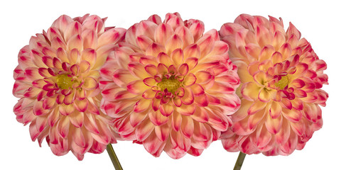 Three pink dahlia flower on a white background