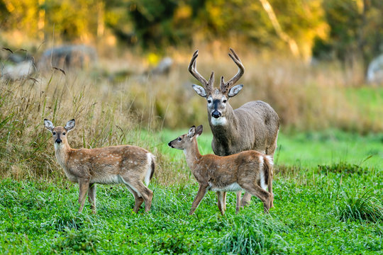 White-tailed deer stag with his fawns having dinner on the cloverfield.