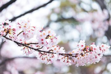 Fotomurales - Sweet full bloom sakura or cherry blossom flower in spring season. Vintage filter style.