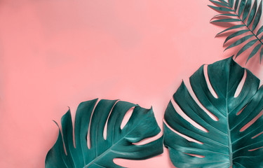 Tropical monstera leaves on a  pink background