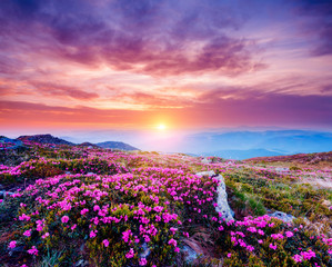 Wall Mural - The magic rhododendron blossoms in springtime. Location Carpathian, Ukraine, Europe.