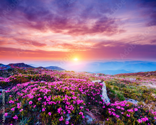 Wall mural The magic rhododendron blossoms in springtime. Location Carpathian, Ukraine, Europe.