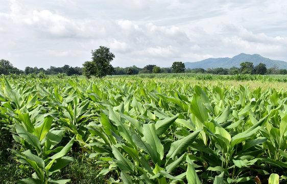 Turmeric farm grown organically