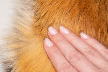 Closeup top view macro image of beautiful pastel pink color natural manicured gel polished nails isolated on real animal white and orange fox fur texture background. Macro image of hand touching fur.