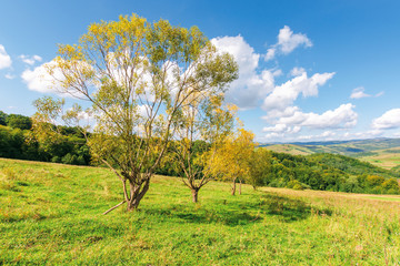 row of trees in yellow foliage on the meadow. beautiful countryside landscape in mountains. fluffy clouds on the blue sky above the distant ridge. wonderful autumnal rural scenery on a sunny day