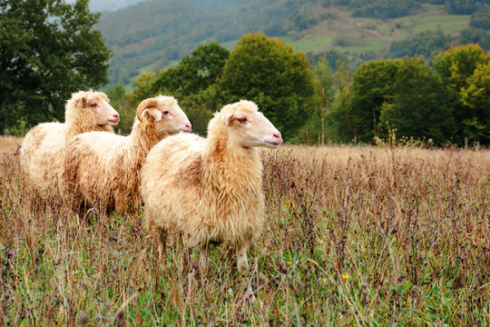 ram and two sheep on the meadow. animals among weathered grass looking in to the right direction. oak trees in the distance. gloomy autumn weather. early misty morning in mountainous countryside.