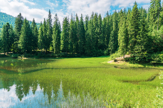 beautiful summer landscape in mountains. lake among the spruce forest. wonderful sunny weather with clouds on the blue sky. scenery reflecting in the water. great view of amazing carpathian nature