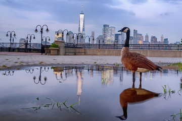 Manhattan skyline at sunset with reflection and a goose at the foreground, New York City