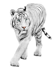 Wall Mural - Walking beautiful white tiger on white background
