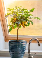 calamondin citrus tree on window sill