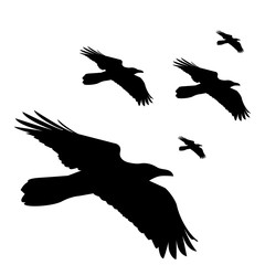 flying black ravens