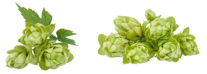 The collection of green hop cones. Isolated pictures.