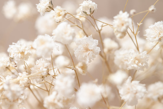 Gypsophila dry little white flowers with macro
