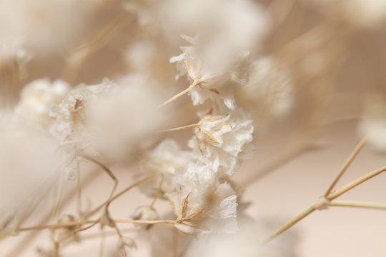 Gypsophila dry little beige flowers in closeup macro