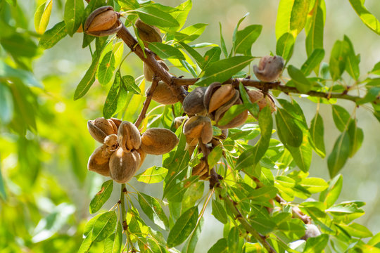 Ripe almonds nuts on almond tree ready to harvest