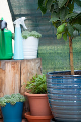 potted lemon tree growing in blue clay pot