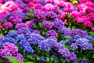 groups of pink hydrangea lit by the sun in the garden of balbianello villa in the comune of Lenno, Italy, overlooking Lake Como.