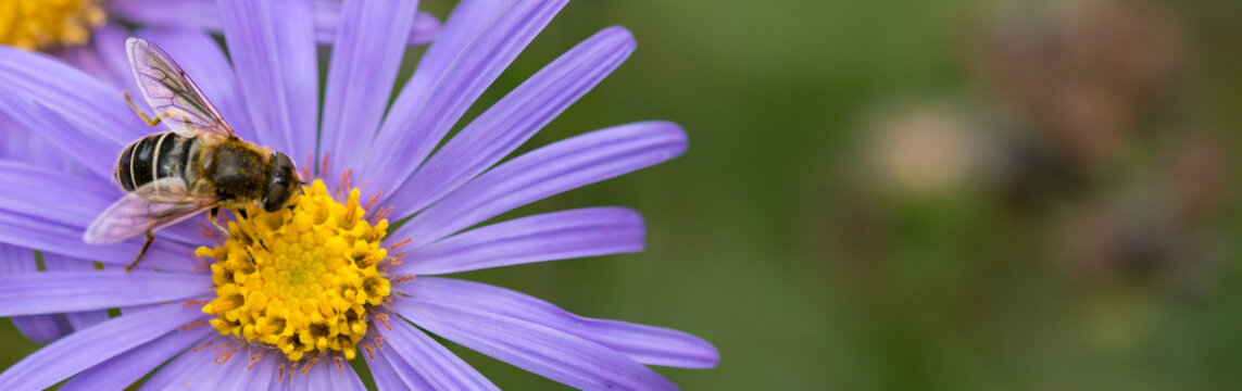 Close up bee on blue aster. Violet flowers. Banner, copy space