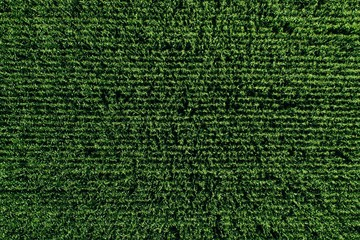 Aerial view of green rows corn field in summer.