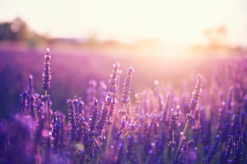 Tuinposter Lavendel Lavender flowers at sunset in Provence, France. Vintage filter. Beautiful floral background