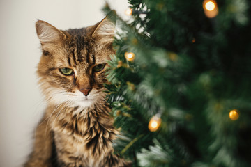Tabby cat with green eyes sitting with funny emotions at christmas tree with lights.  Maine coon relaxing under festive christmas tree. Winter holidays
