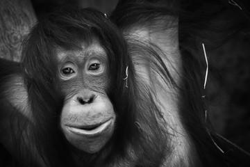 Black and white poster young orangutan monkey
