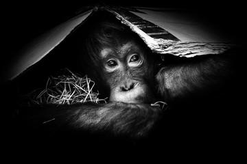 Portrait little orangutan in monochromatic colour