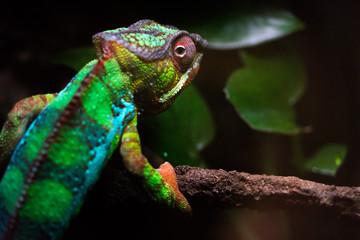 Foto op Aluminium Kameleon Chameleon looking