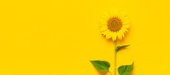 Beautiful fresh sunflower with leaves on stalk on bright yellow background. Flat lay, top view, copy space. Autumn or summer concept, harvest time, agriculture. Sunflower natural background