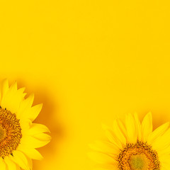 Wall Mural - Beautiful fresh sunflowers on bright yellow background. Flat lay, top view, copy space. Autumn or summer Concept, harvest time, agriculture. Sunflower natural background. Flower card Square format